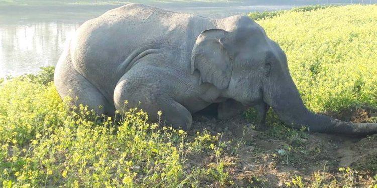 Elephant dead