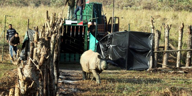 rhino calves