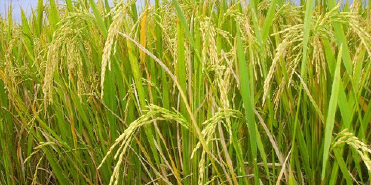 boro rice