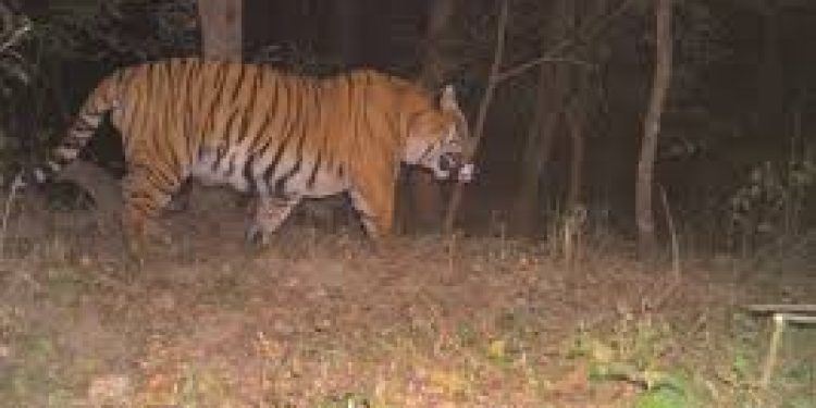 camera trapped tiger in sikkim