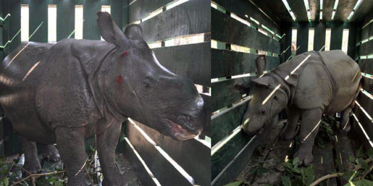 One-horned rhino calves