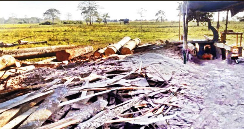 Assam: Illegal felling of bombax trees rampant in Lakhimpur 1