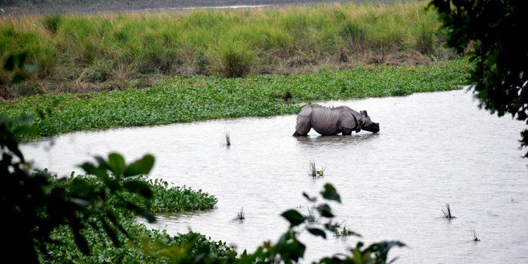 A rhino at a wetland in Kaziranga. Image - Chandan Kumar Duarah