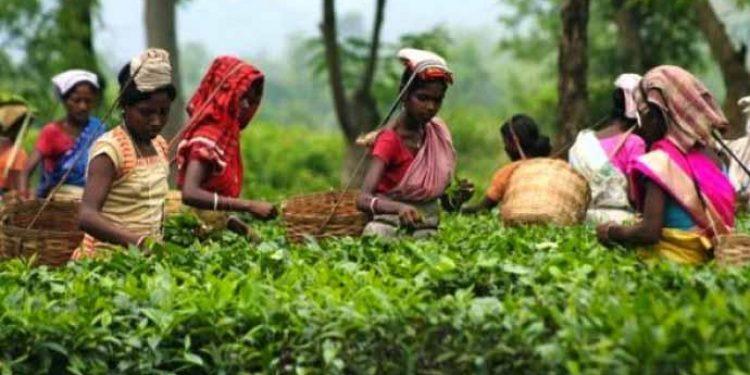 Tea garden workers plucking tea leaf. (File image)