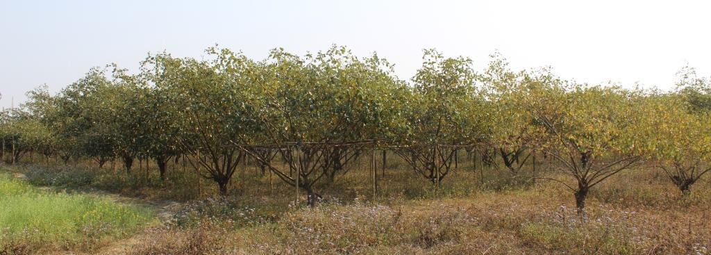 Woman entrepreneur turns barren river bank to an orchard of profit 4