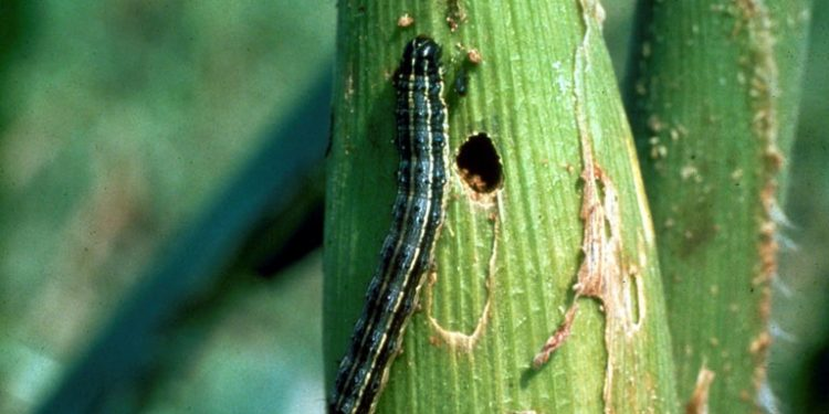 Fall Armyworm (Spodoptera frugiperda) Photo Credit: Forestry Images