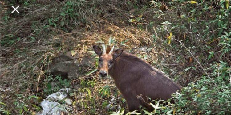 Assam State Zoo gets female serrow from Nagaland zoo on loan 1