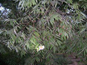 Nahar Flower