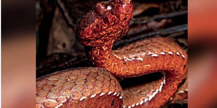 Reddish brown pit viper was found in a forest in West Kameng district.  Image credit: Rohan Pandit,Wangchu Phiang