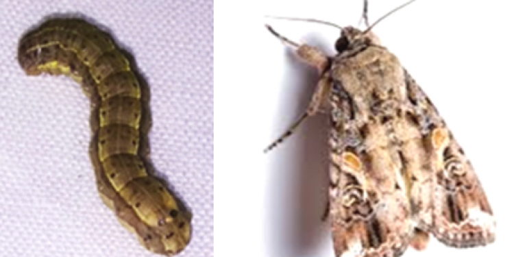 new invasive insect (1)