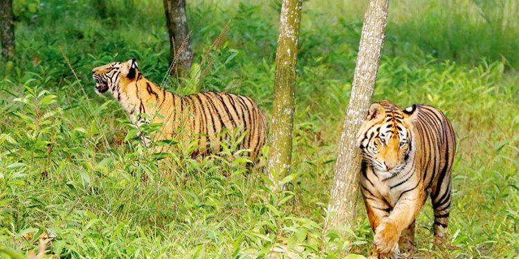 Tiger Poaching