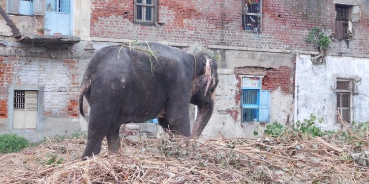 All the elephants in Jagannath Temple in Ahmedabad have sore feet and nails are also badly infected.