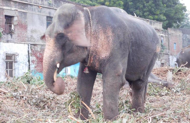 Why is Gujarat so fascinated with Assam elephants? 3