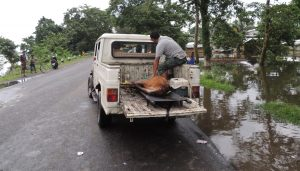 Assam: Flood claims lives of 36 animals in Kaziranga National Park 1