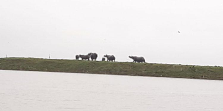 Rhinos taking shelter on highland in Kaziranga National Park. Image credit - Northeast Now