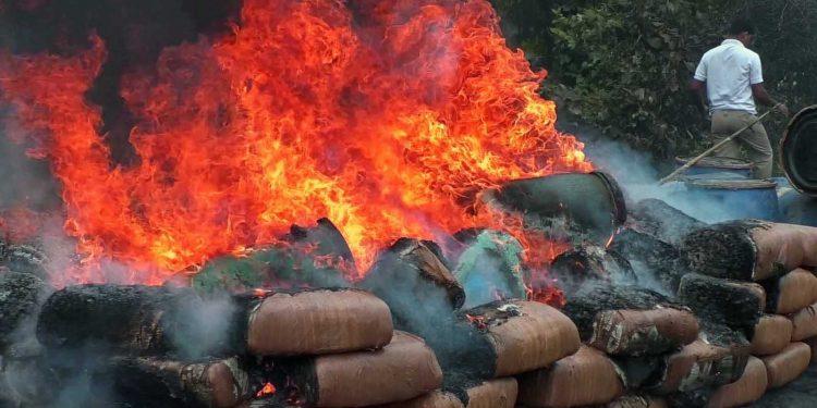 Ganjas being destroyed at R.K. nagar in West Tripura on Tuesday. Image credit - Northeast Now
