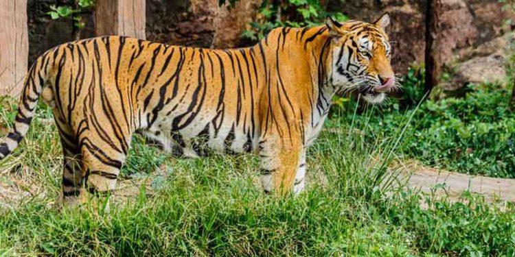 Tiger Mizoram