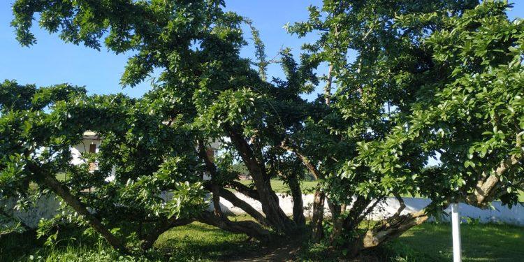 bakhar bengena tree