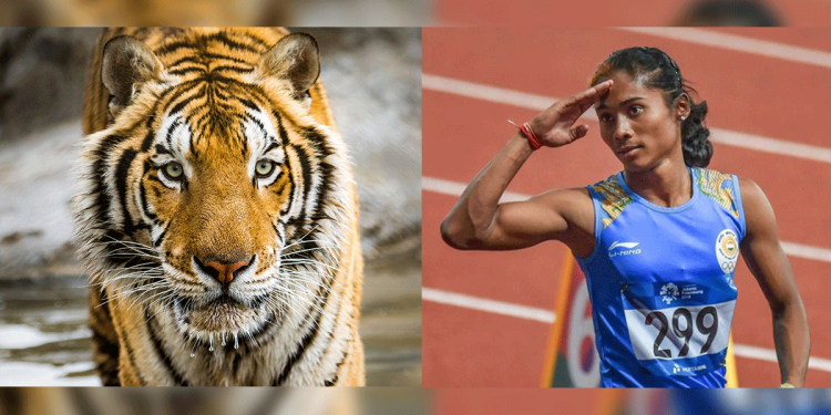 Bangalore zoo names a six month old tiger cub after Hima Das 1