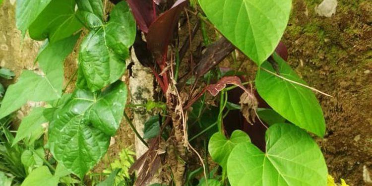 Tinospora Cordinofolia