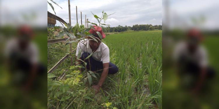 Deb Kumar Barman planting saplings. Image: Northeast Now