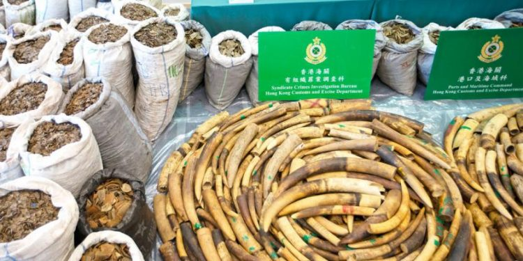 A huge haul of elephant tusks and pangolin scales are displayed at Hong Kong Customs after being seized in transit. Image credit: Myanmar Times
