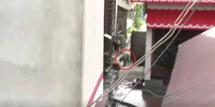 Leopard entering a resident area in Dibrugarh. Image: Northeast Now