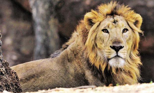 Lions in Kaziranga