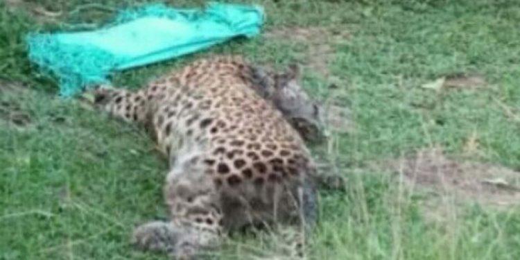 leopard carcass