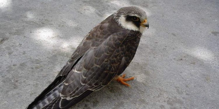 File image of amur falcon