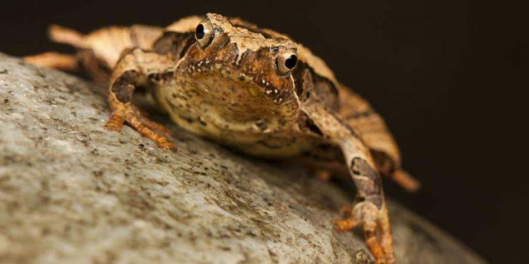 Microphyla frog