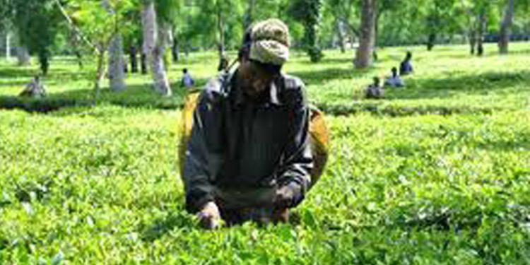 Teok Tea Estate