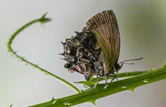 Saffron(Mota massyla) - a rare species of butterfly found at Ledum .