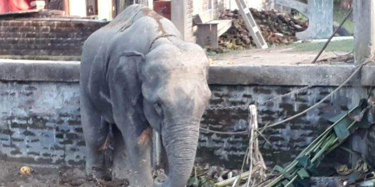 The rogue elephant from Bangladesh chained in Tripura. Image: Northeast Now