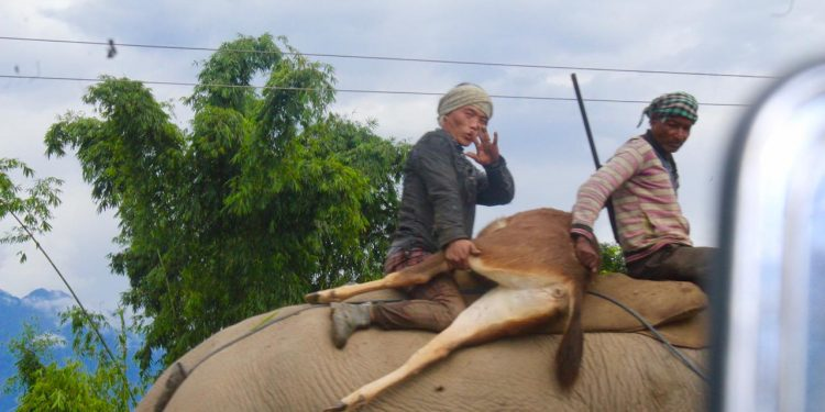 Two persons were caught on camera carrying a hunted Sambar on the back of a domesticated elephant near Bomjir bridge.