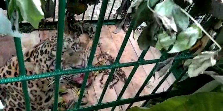 Leopard trapped in Guwahati's Shantipur 1