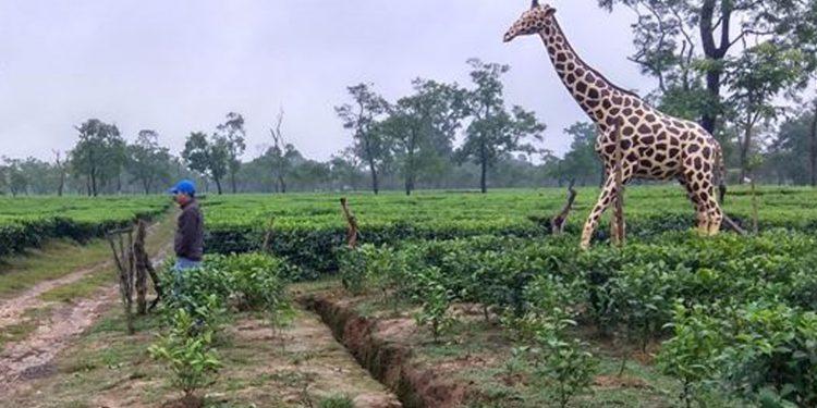 Dummy giraffe in a Golaghat tea estate