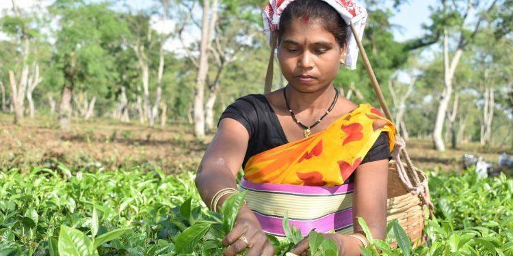 Jhalo Orang, winner of the best plucker (female) award from Brahmaputra Valley of Assam plucking leaves at the Goodricke owned Orangajuli tea estate in Udalguri. Image: Northeast Now
