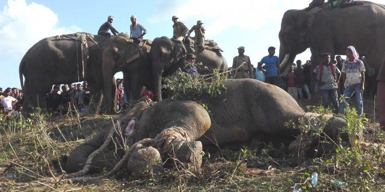 Rogue elephant Laden alias Krishna when captured. Image: Northeast Now