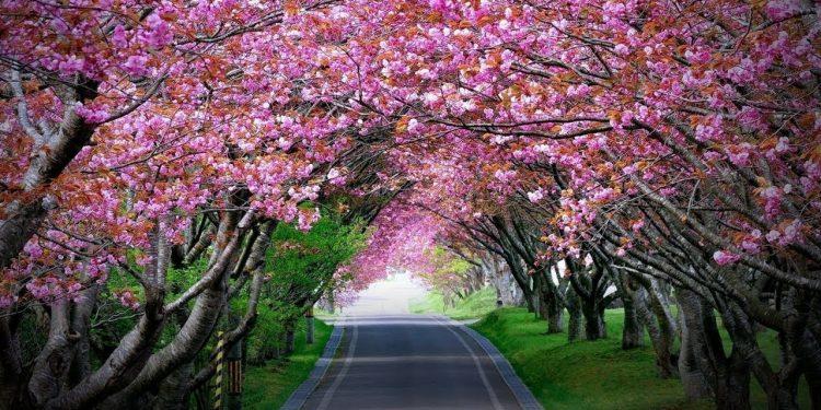 South Korea, Meghalaya join hands for Cherry Blossom Festival