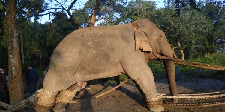 Krishna aka Laden in captivity at Orang National Park before his death. Image: Northeast Now