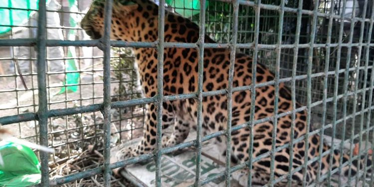A caged leopard. (File image)