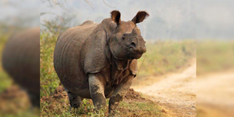 One-horned rhino at Kaziranga