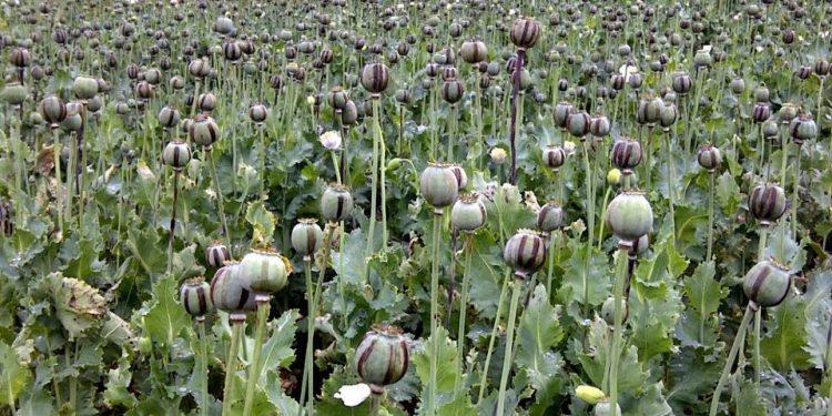 Opium cultivation