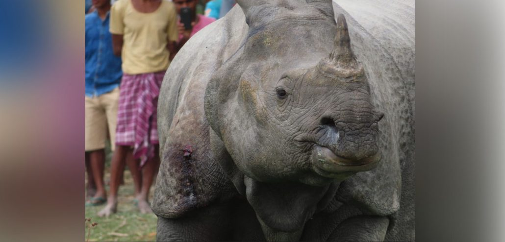 Strayed rhino from Manas National Park raises questions on poaching attempt 1