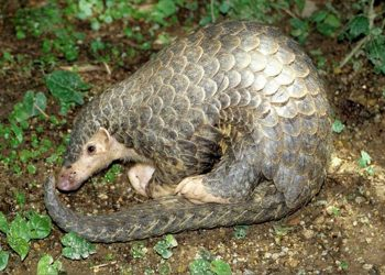 Some scientists claim pangolins as the host of coronavirus