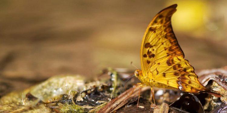 410 butterfly species recorded in Arunachal Pradesh's Namdapha National Park 1