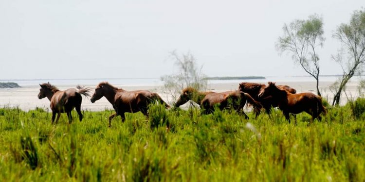 Why ex-Army personnel 'target' feral horses of Dibru-Saikhowa National Park? 1
