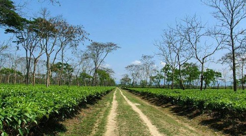 Hunwal Tea Estate