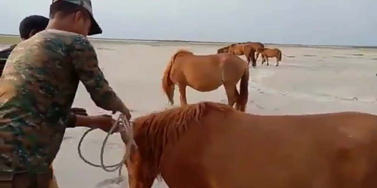 Army and feral horse